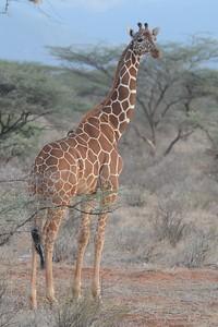 Reticulated Giraffe Samburu National Reserve Kenya 2011