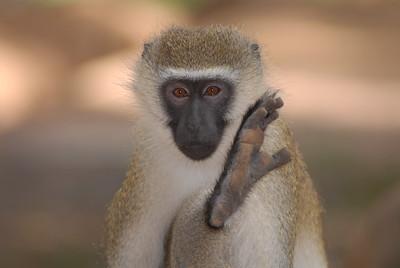 Psss, Want to hear my secret? Vervet Monkey Kenya 2006