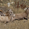 This group was spooked by something...possibly a cougar or coyote, which are known to hang around in this area during the rut. Near Grand Forks, BC, October 2010