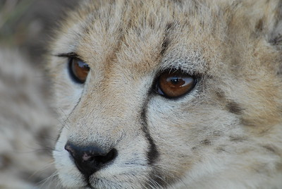 Eye of the Beholder Maasai Mara Kenya 2006