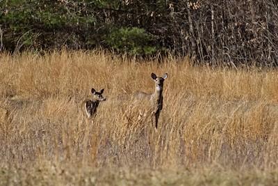 White tailed deer - Odocoileus virginianus.