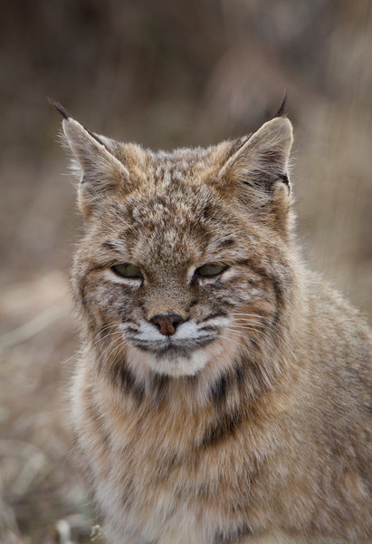 Portrait of a Bobcat-Front Range -Colorado