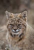 Portrait of a Bobcat-Front Range -Colorado