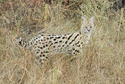 Serval Serengeti 2008