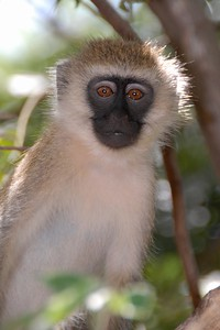 Vervet Monkey Kenya 2011