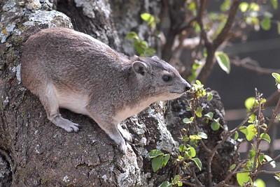 Hyrax Serengeti 2008