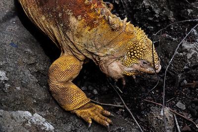 Land Iguana - Conolophus subcristatus.