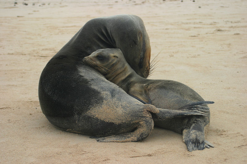 Mother and Baby Sealion (<i>Zalophus wollebaeki</i>) Galapagos Islands National Park, Ecuador