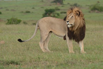 Male Lion Maasai Mara Kenya 2011