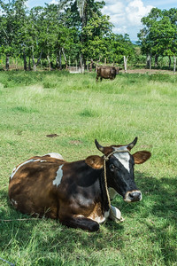 Domestic Cow Resting in the Shade