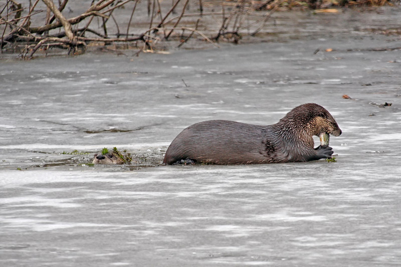 River Otters taken in winter. Photo by Jerry Dalrymple