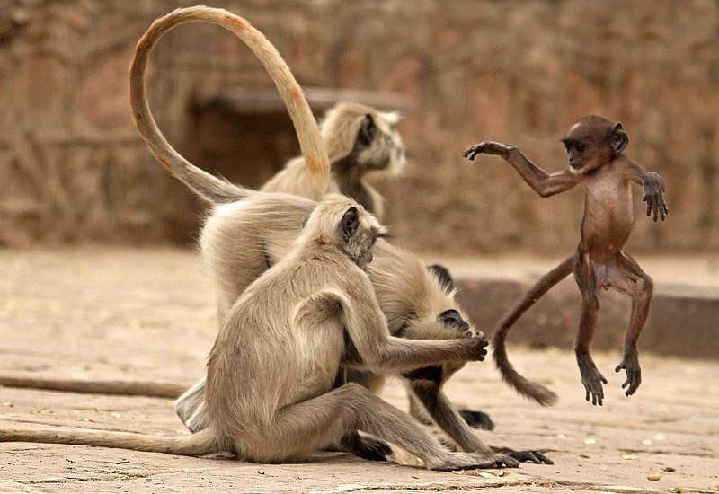 A Langur kid airborne