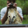 mountain coati, (Nasuella olivacea) - Ross Park Zoo, Binghamton, NY.  Getting a picture of him through the glass was proving tough with all the glare.  It was kind of lucky in the end however as I like the way this turned out.  <br /> Gotta love coatis!