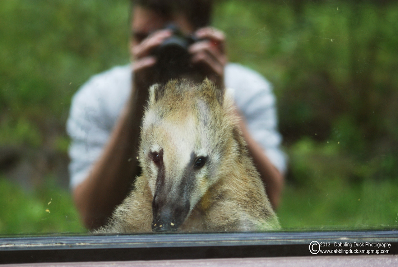 mountain coati, (Nasuella olivacea) - Ross Park Zoo, Binghamton, NY.  Getting a picture of him through the glass was proving tough with all the glare.  It was kind of lucky in the end however as I like the way this turned out.   Gotta love coatis!
