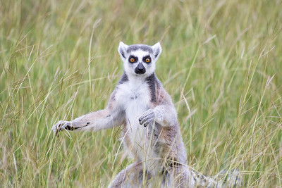 Ring-tailed Lemur - Lemur catta