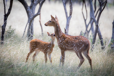 Axis deer and fawn