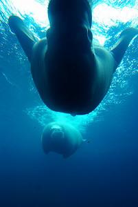 Walruses diving