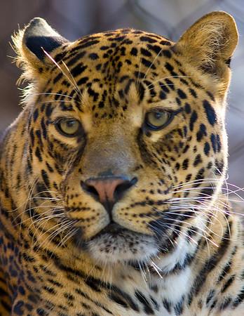 Jaguar, Houston Zoo taken February 2009