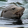 Sea Lion: Monterey Bay