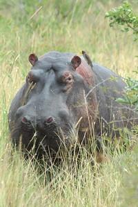 Hippo and oxpecker  Tanzania 2008