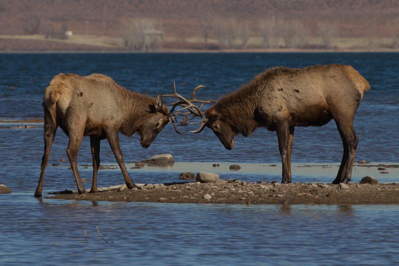 Bull Elk sparring