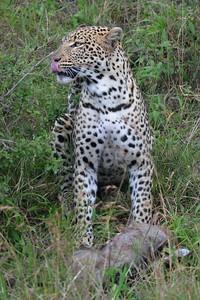 Leopard with warthog Maasai Mara Kenya 2011