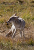 Coyote eating crayfish-Yellowstone National Park