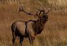 Bull elk during rut in Colorado