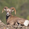 A handsome young Bighorn Sheep ram taking a break, but keeping an eye out, near Grand Forks, BC, October 2010