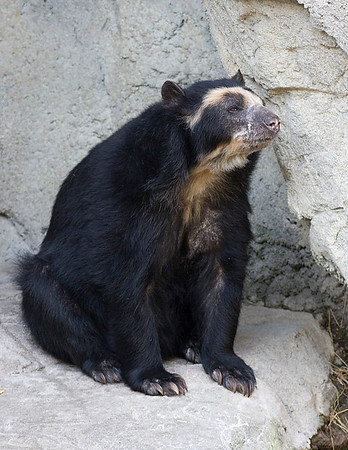 I took this shot at the Houston Zoo January 7,2009 of this Andean Bear.