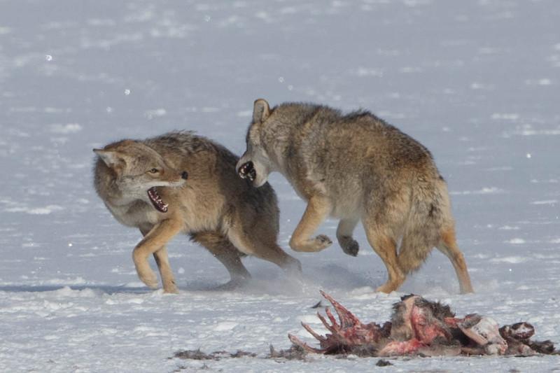 Coyotes fighting over Deer caracas.