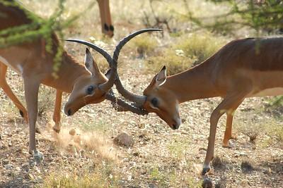 Boys will be boys! Samburu National Reserve Kenya 2006