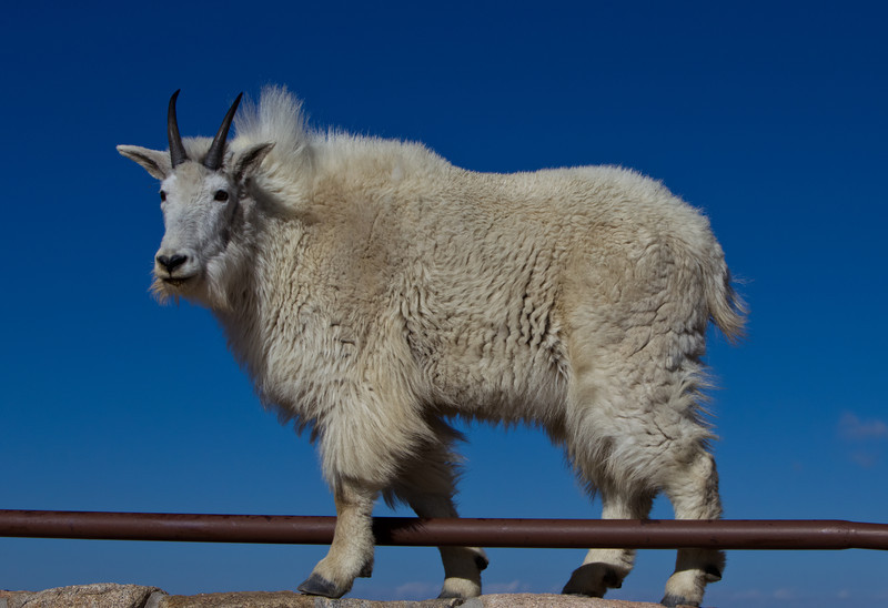 Mountain Goat-balancing act
