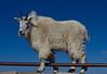 Mountain Goat-balancing act