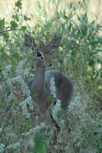 Female Kirk's Dik-Dik - One of the smallest antelopes weighing 8 - 16 pounds.