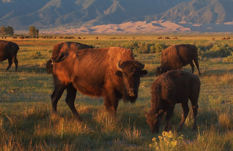 American Bison Mom and Calf (<i>Bison bison</i>) The Nature Conservancy's Medano-Zapata Preserve Colorado, USA