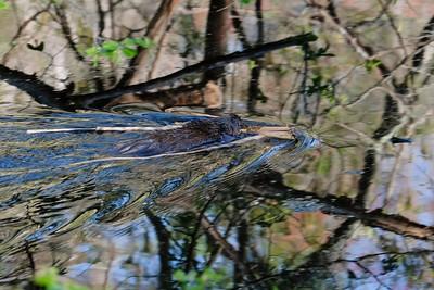 North American beaver - Castor canadensis.