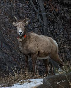 Collared Mountain Sheep