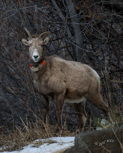 Collared Mountain Sheep