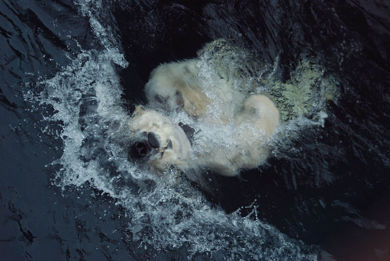 A polar bear surges through the water on its back