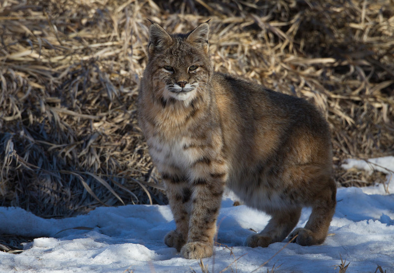 Bobcat-Front Range -Colorado