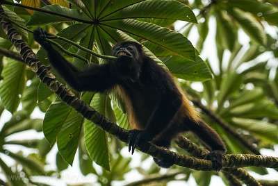 Howler Monkey Has a Bite
