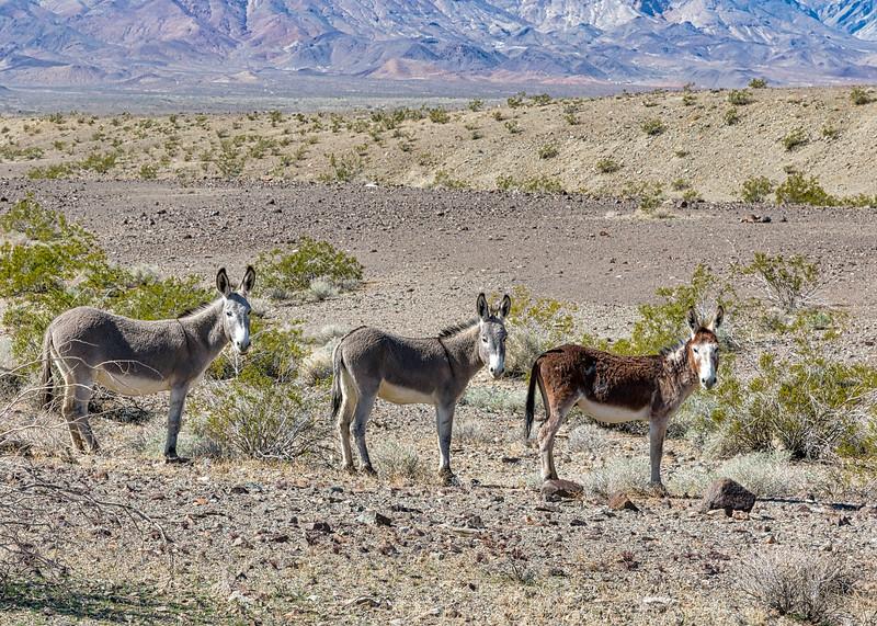Wild burrows in the California desert