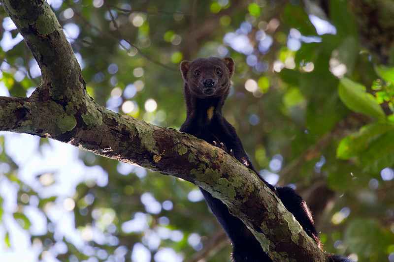Tayra (<i>Eira barbara</i>) Bahuaja-Sonene National Park Amazon, Peru