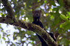 Tayra (<i>Eira barbara</i>) Bahuaja-Sonene National Park Amazon, Peru