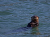 Sea otter (<i>Enhydra lutris nereis</i>)  Point Lobos National Park, California, USA