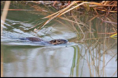 Swimming Nutria Seabrook, TX
