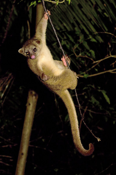 Kinkajou<br /> Mayan Mountains, Belize