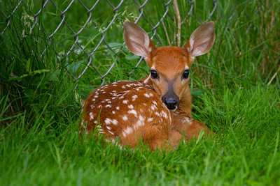 This photo of a very young fawn (born only a few hours before I found it) was taken in my neighbor's backyard.