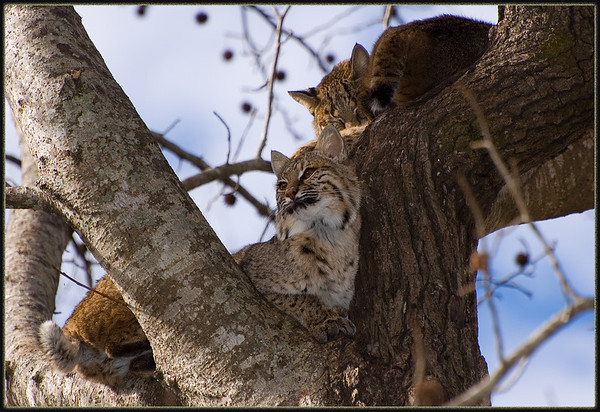 A pair of bobkittens in a tree at Chehaw animal park
